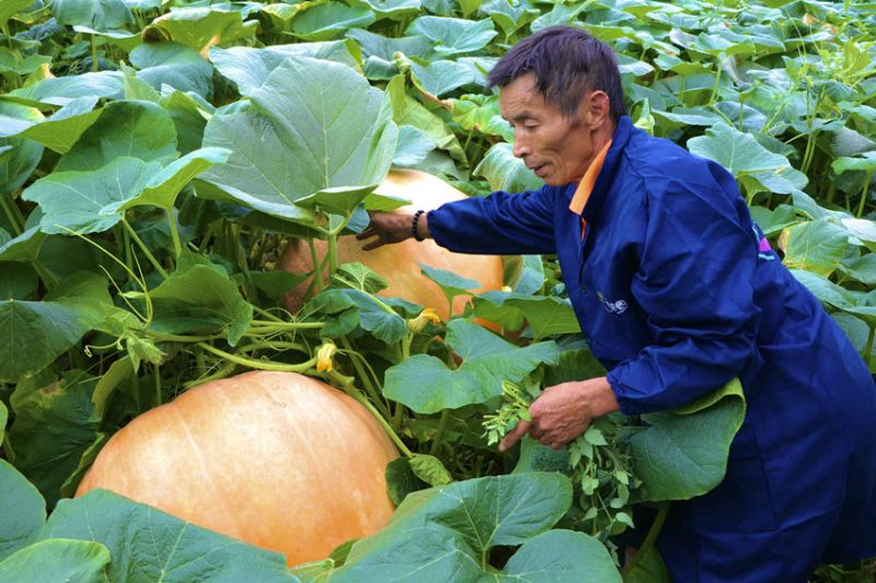 farmer next to two giant pumpkins in china
