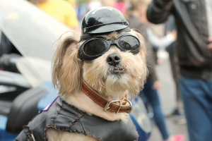 Did you know Shih Tzu is a Chinese loanword in English?