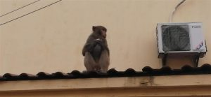 macaque on building rooftop in shanghai