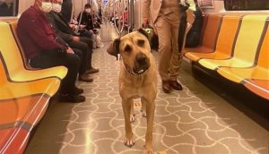 stray dog on metro in istanbul