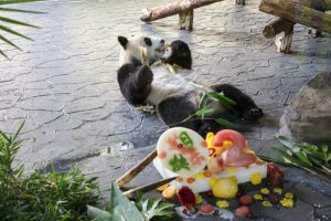 panda lying on back eating behind birthday cake in china