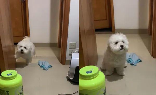 pet dog in china knocking and waiting at door